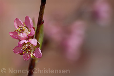 Prunus persica Reliance Peach Blossoms