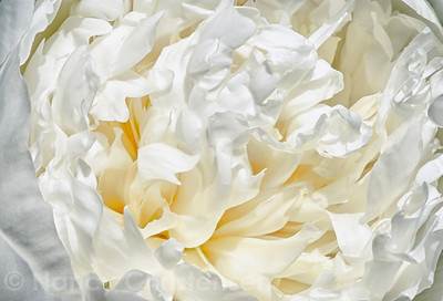 Peony in White