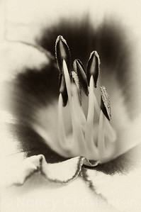 Daylily Black & White III Antique Plate Rendition