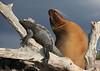 Marine Iguana and Sea Lion