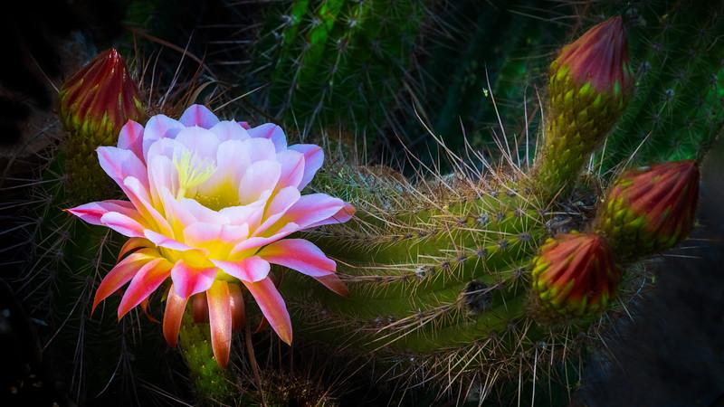 Blooming_Cactus