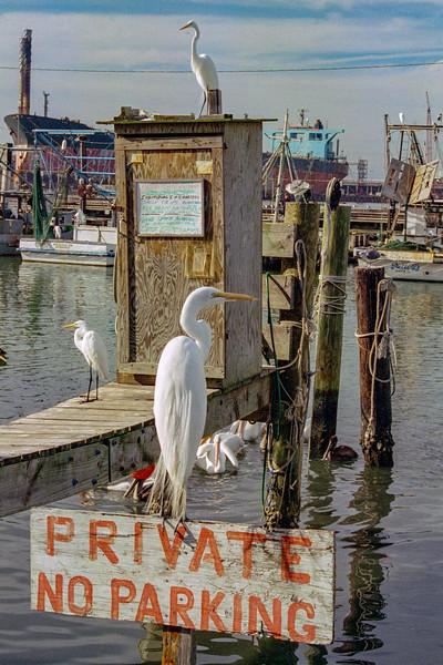 Illiterate Egret