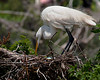 Great White Egret nurturing three eggs.