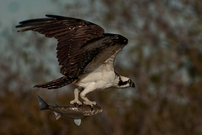 Galveston Feather Fest, Week 2, Entry 1:  Osprey with fish in little bay between Todville Rd. and Hwy. 146 in Seabrook, TX toward the south end.