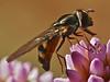 Platycheirus sp., Syrphid Fly<br /> Periscaria capitata, Himalayan Smartweed<br /> Garden, Alameda, Alameda Co., CA