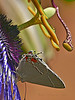 Strymon melinus, Gray Hairstreak<br /> Passiflora loefgrenii x caerulia, Passion flower<br /> Garden, Alameda, Alameda Co., CA