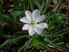 <em>Oenothera cespitosa crinita</em>, Cespitose Evening Primrose.  <em>Onagraceae</em> (Evening Primrose family). Garden, Alameda, CA,  2013/08/25,  jm2p952