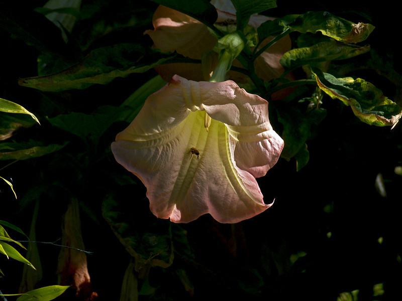 Angel's Trumpet<br /> Garden, Alameda, CA 9/16/10