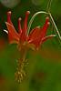 <em>Aquilegia eximia</em>, Serpentine Columbine Garden, Alameda, Alameda Co., CA, JM2p 1134