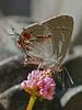 <em>Strymon melinus</em>, Gray Hairstreak, ovipositing. <em>Periscaria capitata</em>, Himalayan Smartweed Garden, Alameda, Alameda Co., CA, 2015/10/15