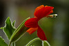 <em>Mimulus cardinalis</em>, Scarlet Monkeyflower Garden, Alameda, Alameda Co., CA, 2015/07/02