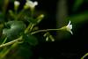 <em>Romanzoffia californica</em>, California Mistmaiden, native.  <em>Boraginaceae</em> (Borage family). Garden, Alameda, Alameda Co., CA, 2015/02/15