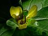 <em>Trillium chloropetalum</em>, Giant Trillium, native.  <em>Melanthiaceae</em> (False-hellebore family) , Ex <em>Liliaceae</em> (Lily family). Garden, Alameda, Alameda Co., CA, 2014/03/27, jm2p1397