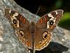 Buckeye, Junonia coenia<br /> Garden, Alameda, Alameda Co., CA, 2013/06/04