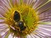 Leaf-cutter Bee, <em>Megachile perihirta</em>.  Thanks, John Ascher, BugGuide for ID. On Seaside Daisy, <em>Eregeron glaucus</em>. Garden, Alameda, Alameda Co., CA, 2012/06/17