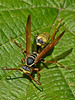 Western Paper Wasp, <em>Mischocytarrus flavitarsis</em> Garden, Alameda, Alameda Co., CA, 2013/06/06