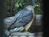 Cooper's Hawk, <em>Accipiter cooperii</em> Garden, Alameda, Alameda Co., CA 2/4/2012