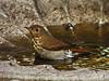Hermit Thrush, <em>Catharus guttatus</em> Garden, Alameda, Alameda Co., CA, 2014/10/20