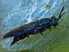 <em>Hermetia illucens</em>, Black Soldier Fly Garden, Alameda, Alameda Co., CA, 2013/10/14