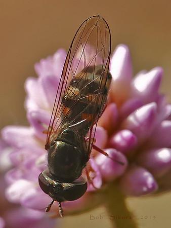 Platycheirus sp., Syrphid Fly Periscaria capitata, Himalayan Smartweed Garden, Alameda, Alameda Co., CA