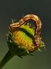 <em>Eupithecia</em> sp., Pug Moth <em>Erigeron glaucus</em>, Seaside Daisy Garden, Alameda, Alameda Co., CA