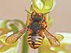 European Wool Carder Bee, <em>Anthidium manicatum</em> Garden, Alameda, Alameda Co., CA, 2013/04/27