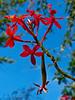 <em>Epidendrum radicans</em> Garden, Alameda, Alameda Co., CA, 2014/03/28
