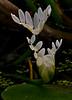 <em>Aponogeton distachyos</em>, Cape Pondweed, Asia, Australia, Africa.  Aponogetonaceae, Cape Pondweed family Garden pond, Alameda, Alameda Co., CA