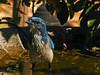 Scrub Jay, <em>Aphelocoma coerulescens</em> Garden, Alameda, Alameda Co., CA, 2014/10/09