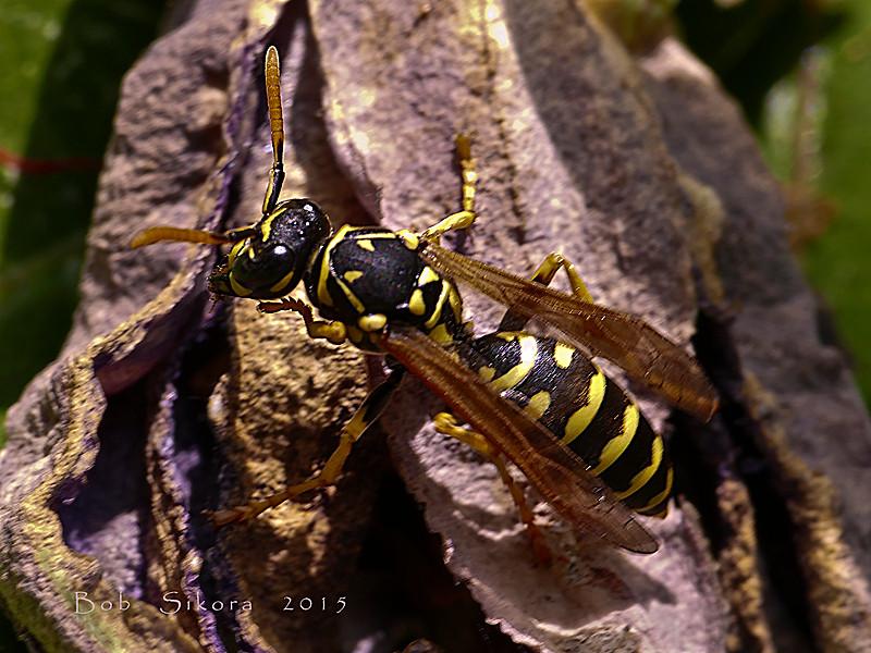 <em>Polistes dominula</em>, Paper Wasp Garden, Alameda, Alameda Co., CA