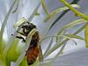 <em>Oenothera cespitosa crinita</em>, Cespitose Evening Primrose.  <em>Onagraceae</em> (Evening Primrose family). Honey Bee, <em>Apis mellifera</em> Garden, Alameda, CA,  2013/08/29,  jm2p952