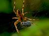 Garden Spider<br /> Garden, Alameda, CA  9/26/10