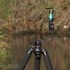 Kingfisher (<i>Alcedo atthis</i>) (Kungsfiskare) using my tripod as a perch in Hadzhiyska River (Sunny Beach), Bulgaria 2011.