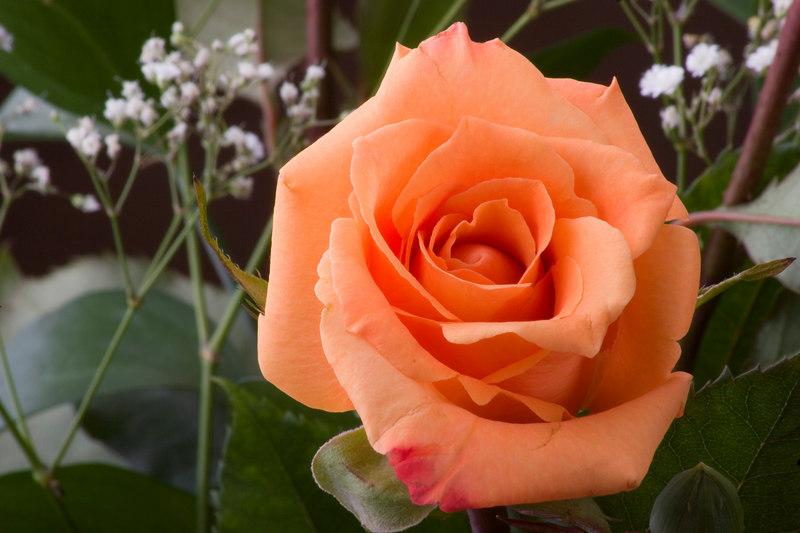 Rose MacroImage_0302
