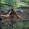 Tiger Lounging in Water at the Atlanta Zoo