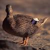 Purple Wing Duck