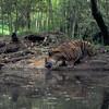 Tiger Drinking Water at the Atlanta Zoo