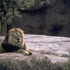 Lion at the Atlanta Zoo