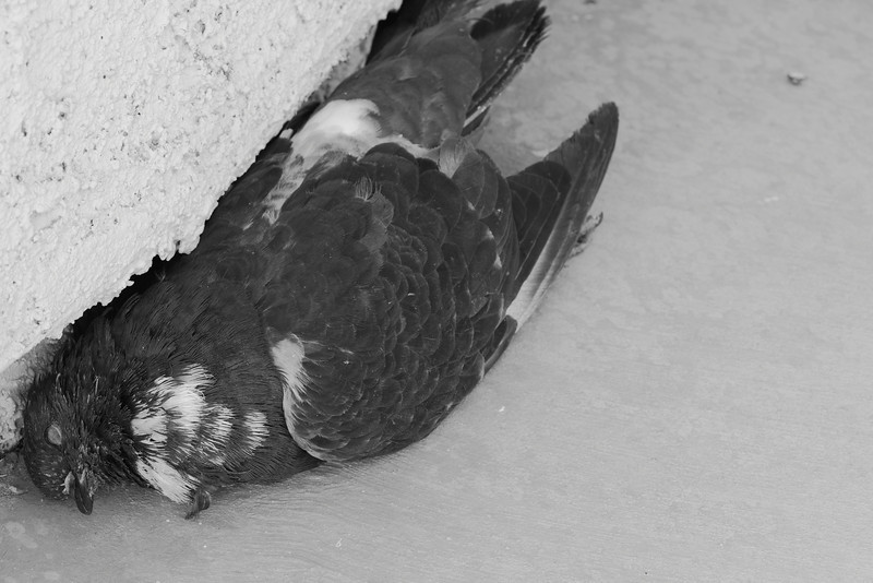 "This pigeon showed up on my doorstep one late afternoon. I tried to scare him away but he wouldn't frighten. I even tried my last humane resort, pestering him with a water gun, but he just stood there and took it. He didn't seem hurt or sick; he just refused to leave. There was this look in his eyes I can't really explain. He almost seemed to say ""Let me stay here, I don't have anywhere else to go"". I was surprised by his determination to stake his claim on my doorstep, so I went in my house and let him be. He was dead the next morning."