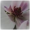 Magnolia Blosoom