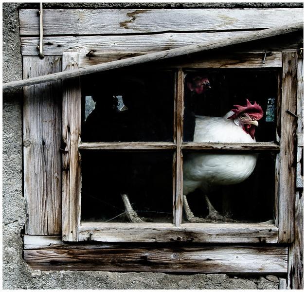 Hen in the Window