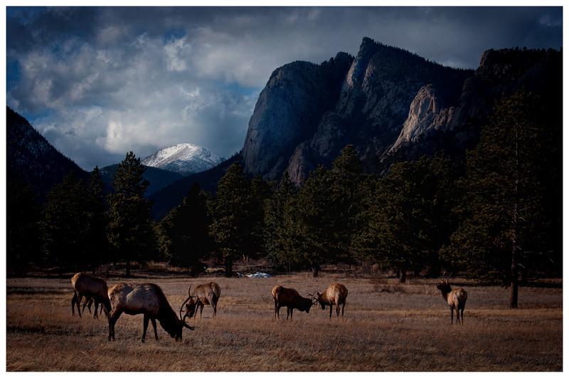 Estes Park Coldorado Elk<br /> Novemer 18, 2011