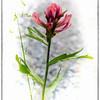 Brainard Lake Wild Flowers<br /> Colorado