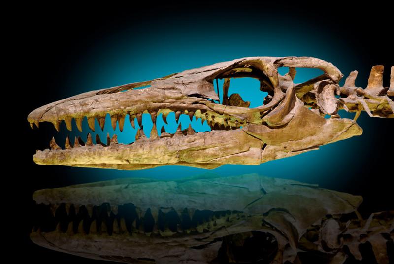 Marine Reptile, Mosasaurus, Cretaceous Oceans, Belgium
