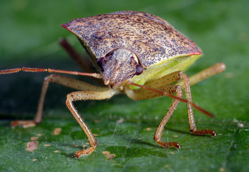 Spined Soldier Bug, Podisus spp.