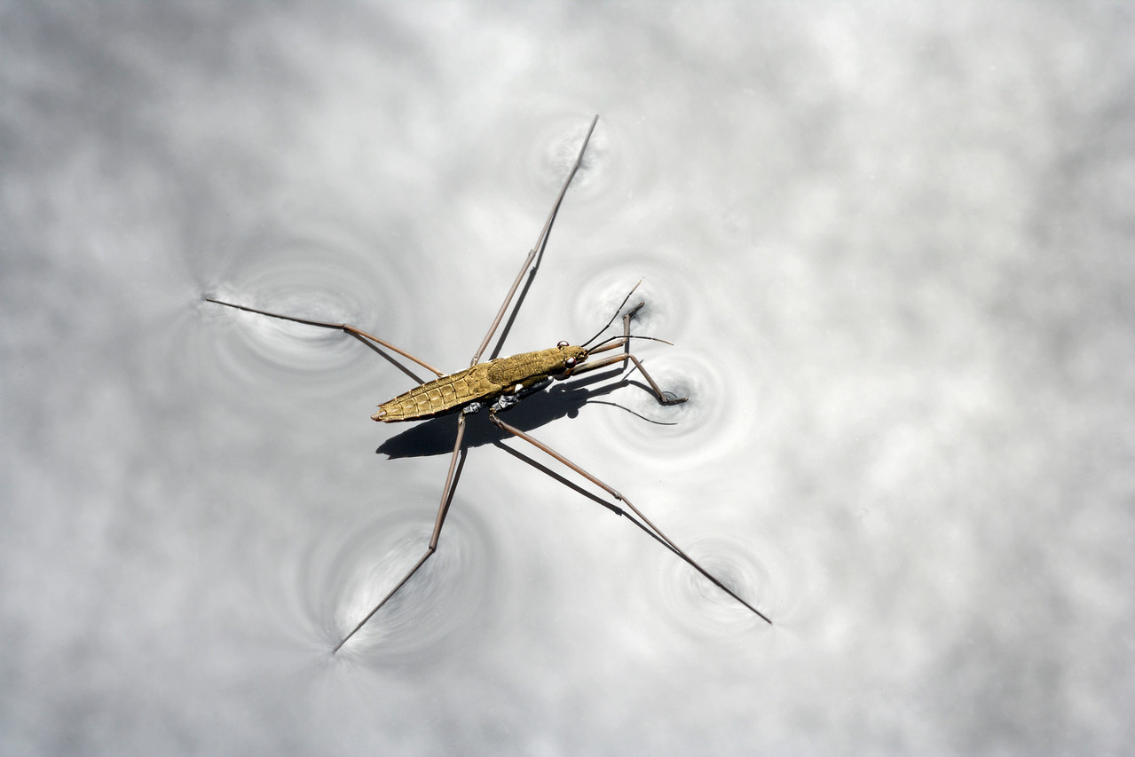 Water Strider, Gerris sp