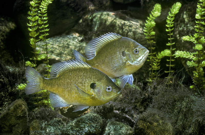 Bluegill Fish, Lepomis macrochirus