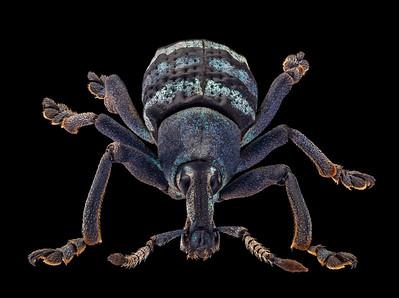 Weevil, Eupholus magnificus