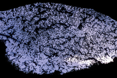 Evening Bat Exodus, Mexican Freetail Bats, Carlsbad Caverns NP, New Mexico
