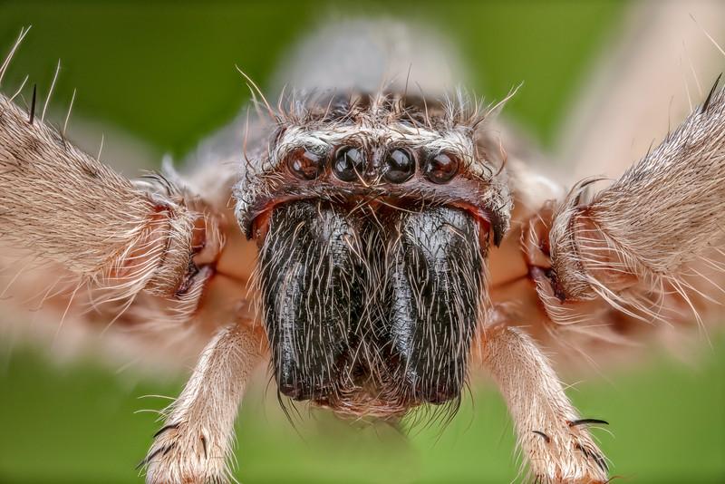 Giant Crab Spider CU